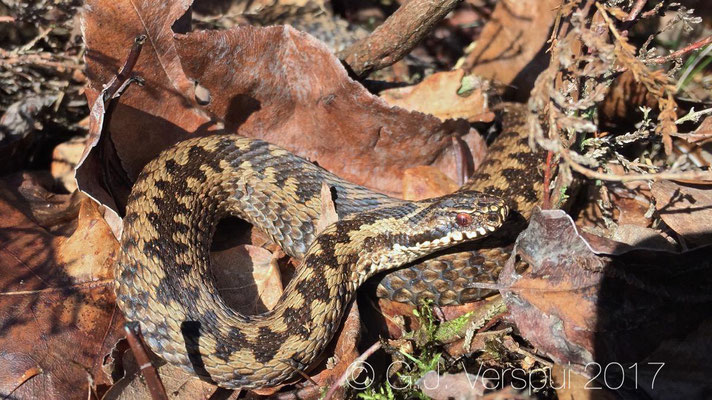 Male Adder - Vipera berus, in situ with Iphone.