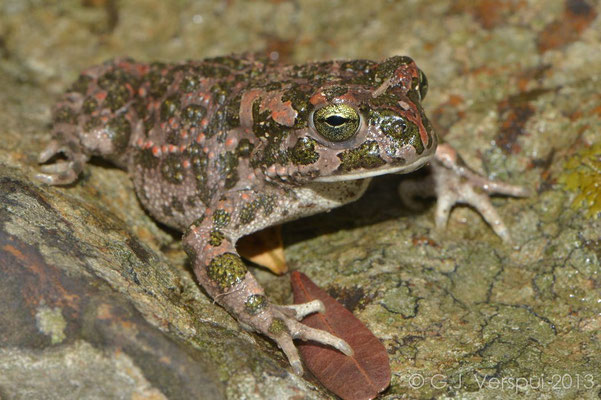 Green Toad - Bufo viridis balearicus