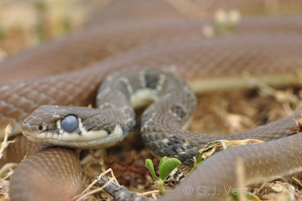 Dahl's Whip Snake - Platyceps najadum