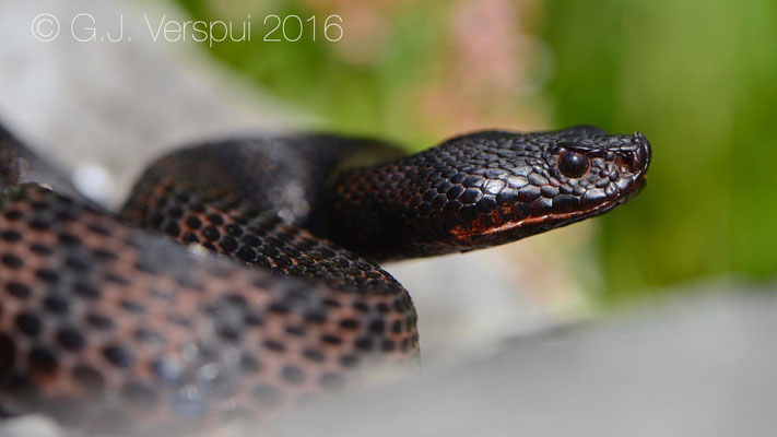 Reddish Melanistic Swiss Asp viper - Vipera aspis 'atra'