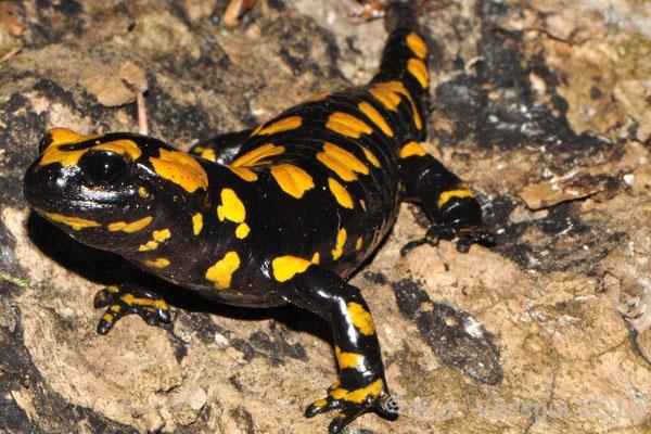 Corsican Fire Salamander - Salamandra corsica