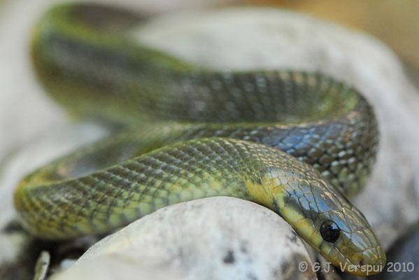 Aesculapian Snake - Zamenis longissimus