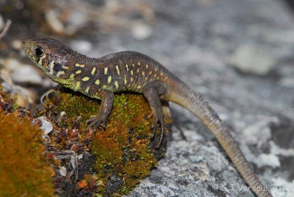 Schreiber's Green Lizard - Lacerta schreiberi (juvenile)