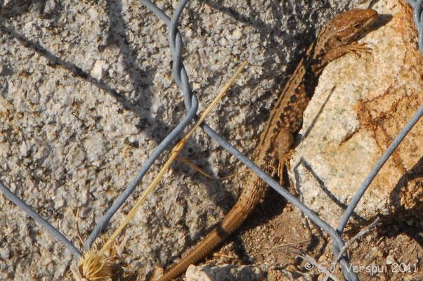 Cyren's Rock Lizard - Iberolacerta cyreni cyreni    In Situ