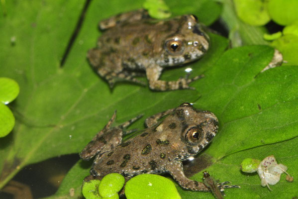 2 juveniles Fire-bellied Toads - Bombina bombina   In Situ