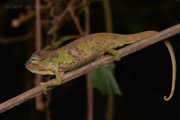 Juvenile Tolley's Forest Chameleon - Kinyongia tolleyae