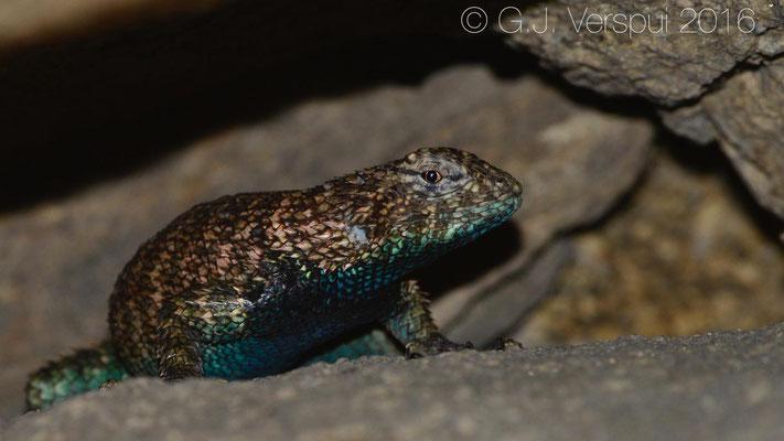 Granite Spiny Lizard (Sceloporus orcutti)