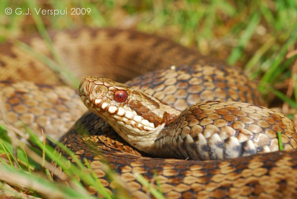 Female Adder - Vipera berus