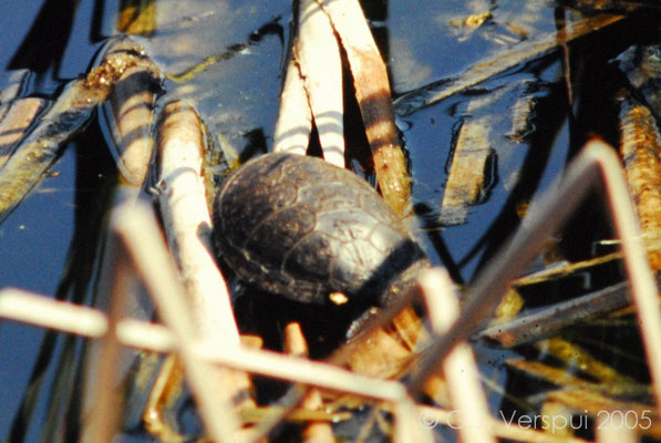 European Pond Terrapin - Emys orbicularis hellenica    In Situ