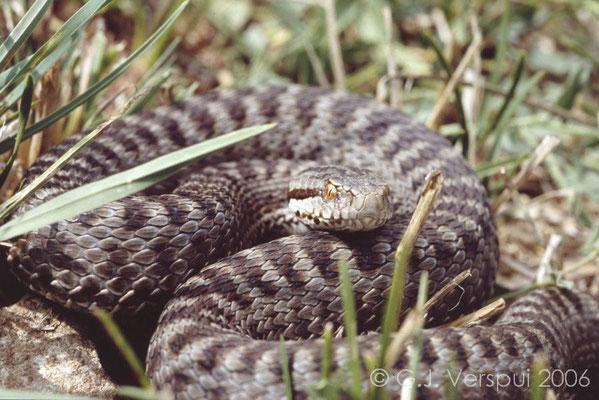 Seoane's Viper - Vipera seoanei cantabrica