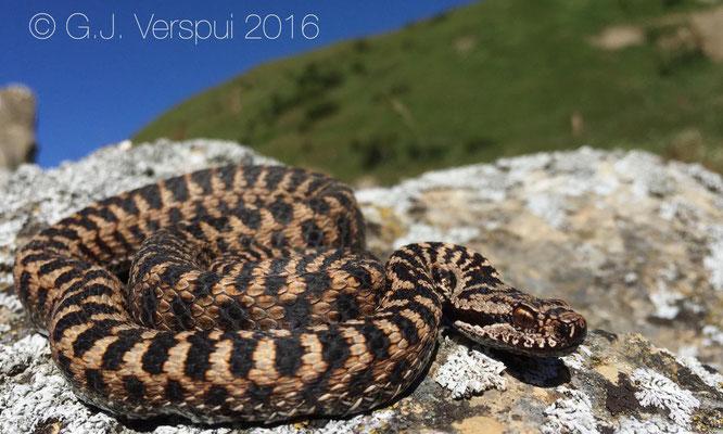 French Asp viper - Vipera aspis 'atra'