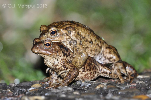Common Toads - Bufo bufo   In Situ