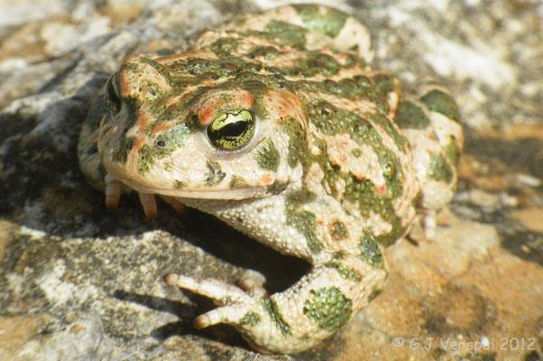 Natterjack (Toad) - Bufo calamita