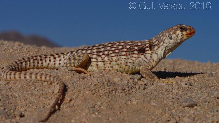Desert Iguana (Dipsosaurus dorsalis) Not In Situ