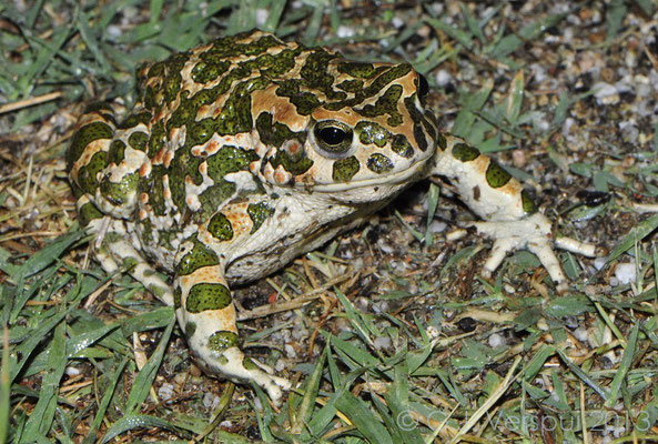 Green Toad - Bufo viridis