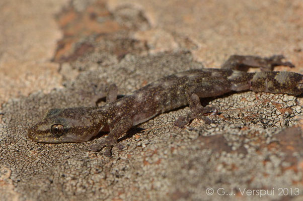 European Leaf-toed Gecko - Euleptes europaea