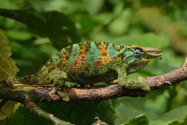 Rwenzori Three-horned Chameleon - Trioceros johnstoni