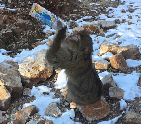 Thirsty Barbary macaque - Macaca sylvanus