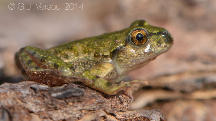 Parsley Frog - Pelodytes punctatus