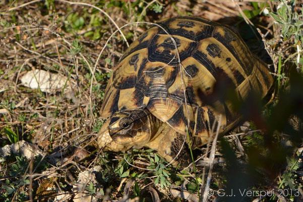 Spur-thighed Tortoise - Testudo graeca nabeulensis   In Situ
