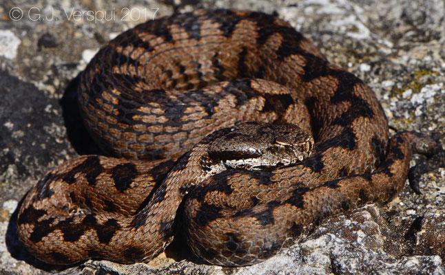 Hybrid viper, Vipera aspis X Vipera latastei
