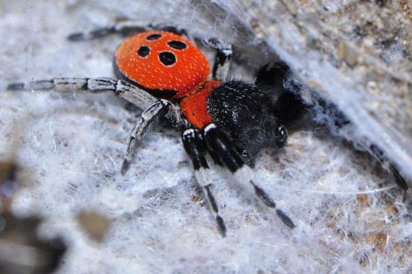 Eresus species (male)