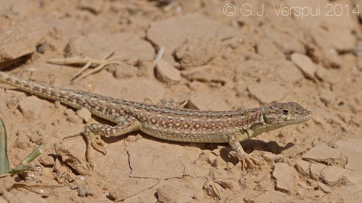 Oliver's Sand Lizard - Mesalina olivieri schmidtii, In Situ