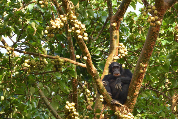 Chimps love to eat