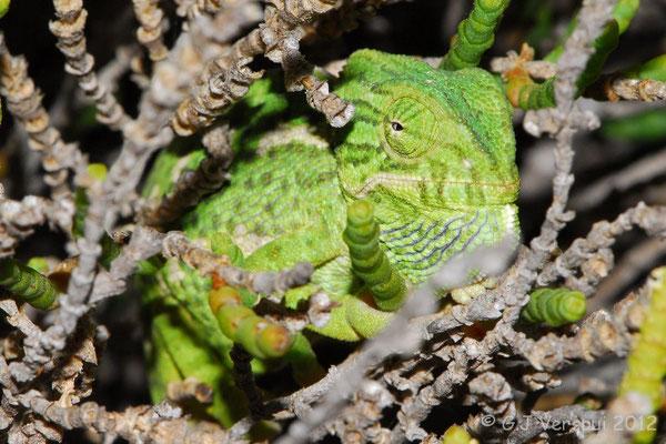 Mediterranean Chameleon - Chamaeleo chamaeleon    In Situ