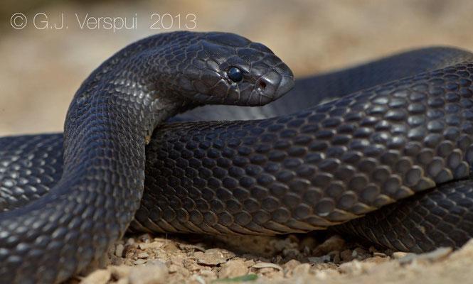 Black Desert Cobra - Walterinnesia aegyptia