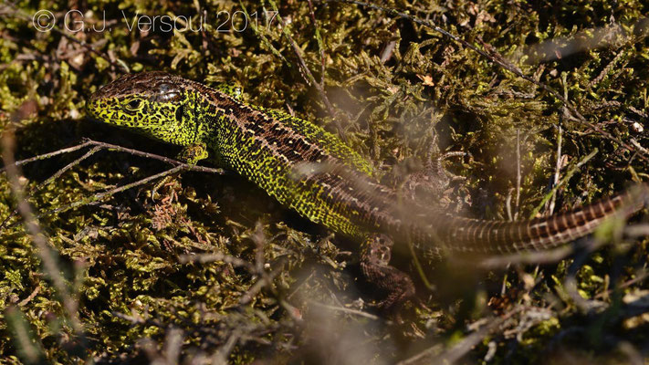 Male Sand Lizard - Lacerta agilis, in situ