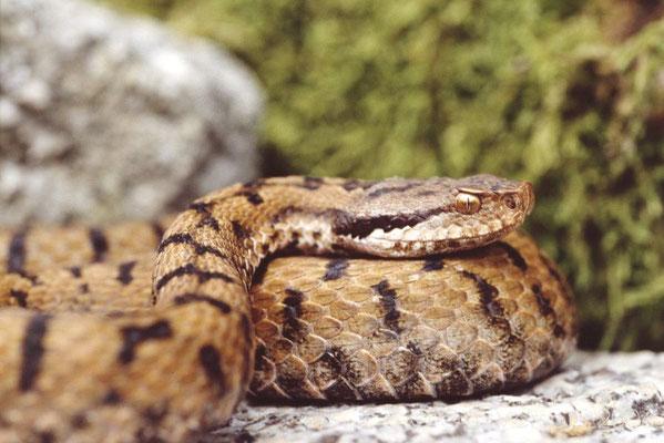 Asp Viper - Vipera aspis