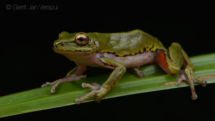 Female Cinnamon-bellied Reed Frog - Hyperolius cinnamomeoventris