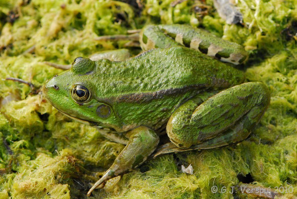 Green Frog species   In Situ