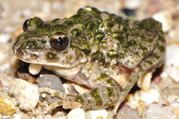 Parsley Frog - Pelodytes species