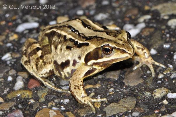 Female Moor Frog - Rana arvalis