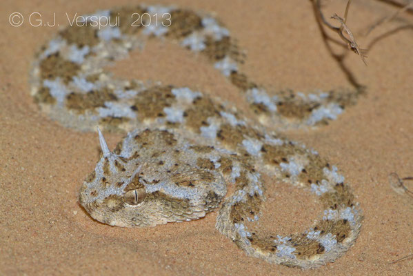 My first own found Desert Horned Viper - Cerastes cerastes    In Situ