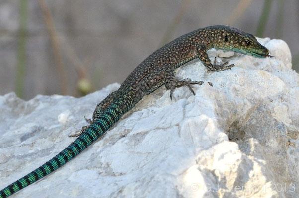 Sharp-snouted Rock Lizard - Dalmatolacerta oxycephala