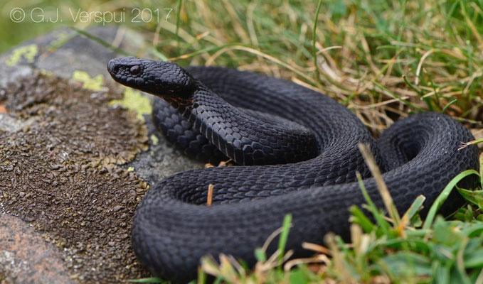 Female melanistic Vipera seoanei that was under the stones