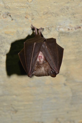 Still not identified bat.