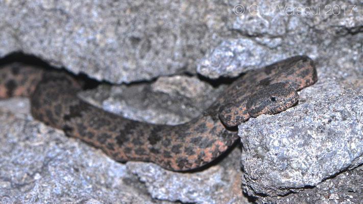 Crotalus lepidus lepidus, in situ