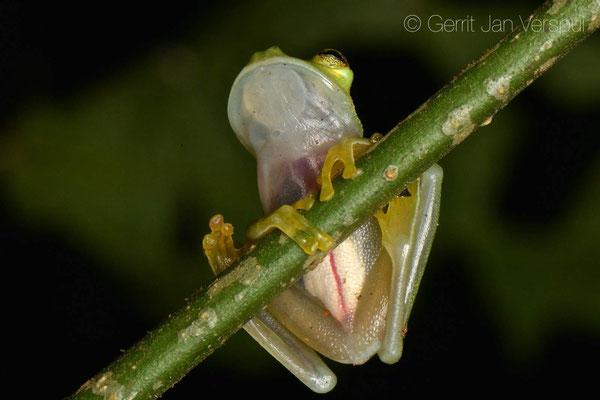 Hyalinobatrachium colymbiphyllum