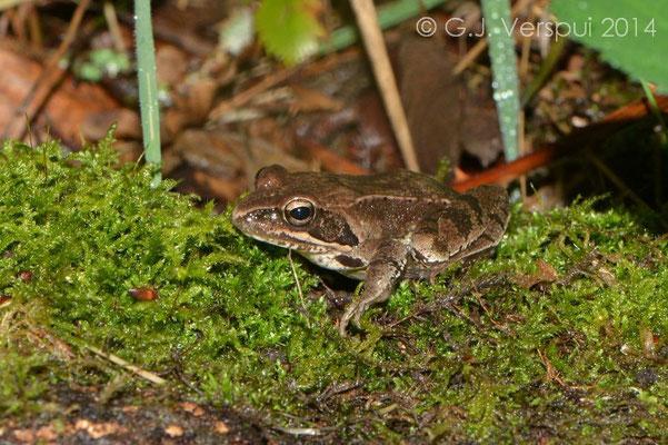 Agile Frog - Rana dalmatina, In Situ