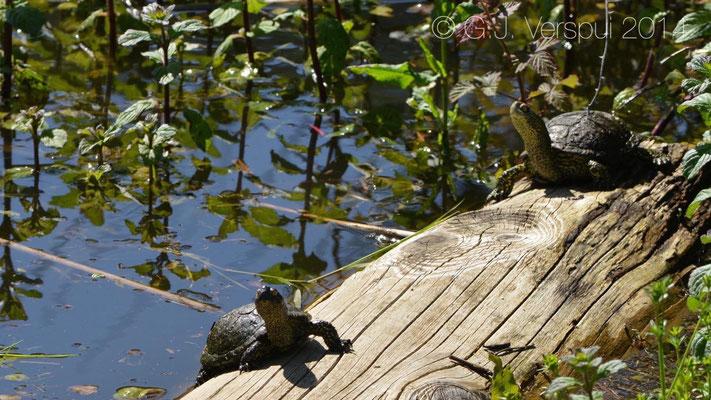 European Pond Terrapin - Emys orbicularis trinacris