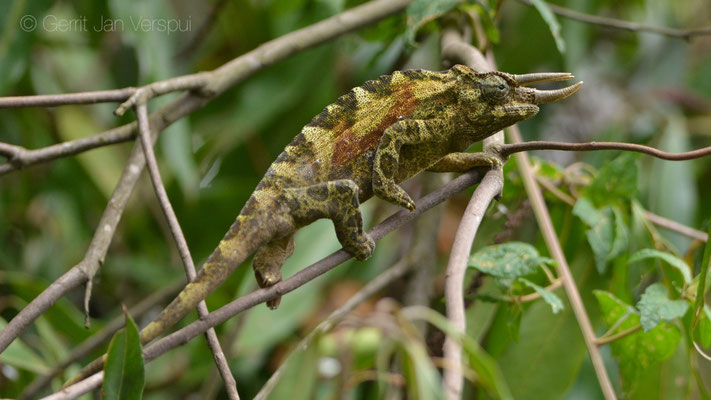 Male Rwenzori Three-horned Chameleon - Trioceros johnstoni