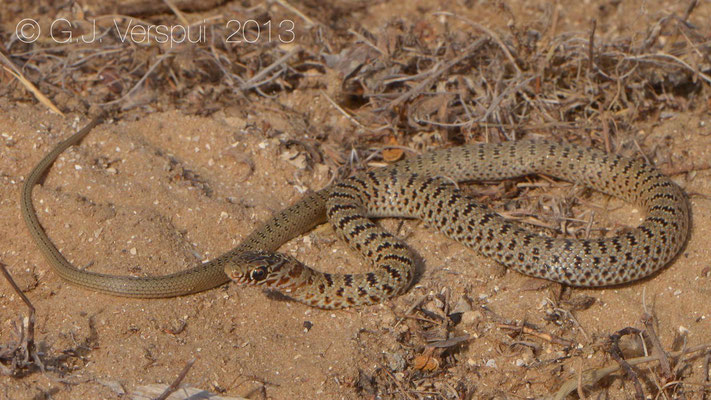 Black Whip Snake - Dolichophis jugularis asianus