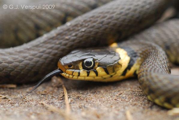Grass Snake - Natrix natrix