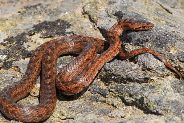 The first Southern Smooth Snake - Coronella girondica, which I found myself.