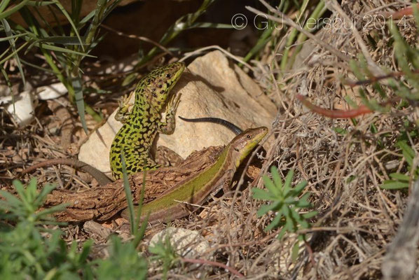 Maltese Wall Lizards - Podarcis filfolensis