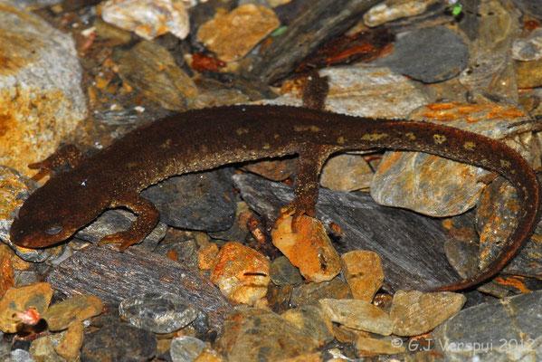 Montseny Brook Newt - Calotriton arnoldi    In Situ